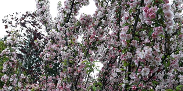 Zierapfel 'Van Eseltine' in der Baumschule Fellner – ein Blütenmeer