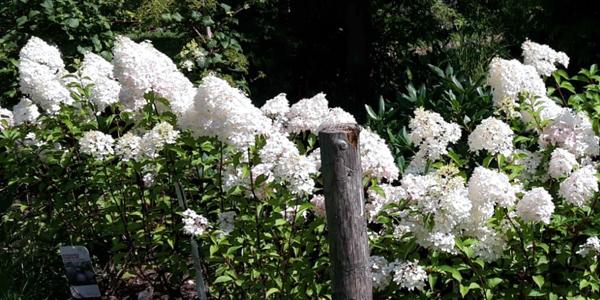 Rispenhortensien in der Baumschule Fellner – was für eine sommerliche Pracht!
