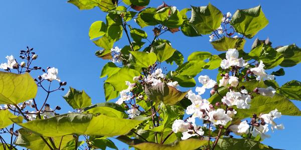 Einer unserer Trompetenbäume in voller Sommerblüte